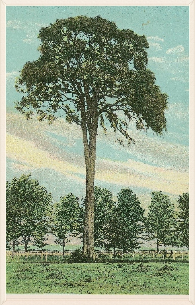 East Avon Umbrella Tree. P ostcard. Source: AP&HS collection.