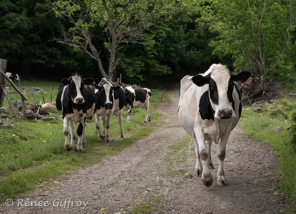 cows coming home with watermark-1.jpg
