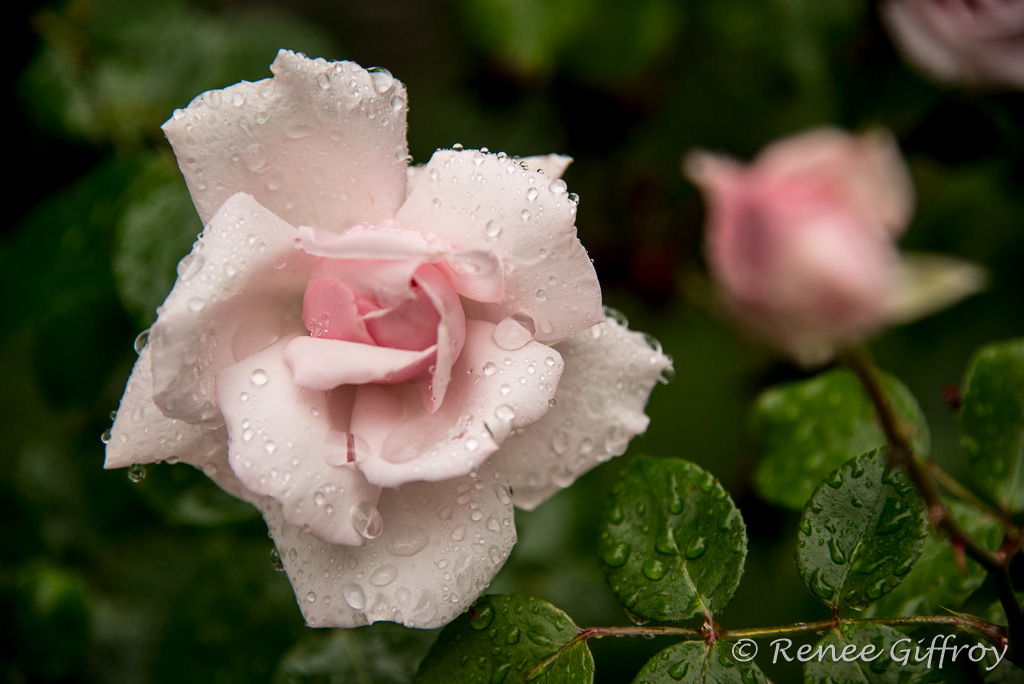 flower pale pink rose with watermark-1.jpg