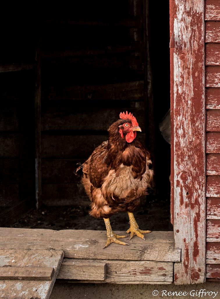chicken in coop with watermark-1.jpg