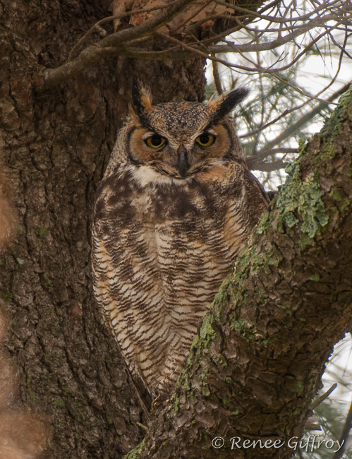 Great Horned Owl mother