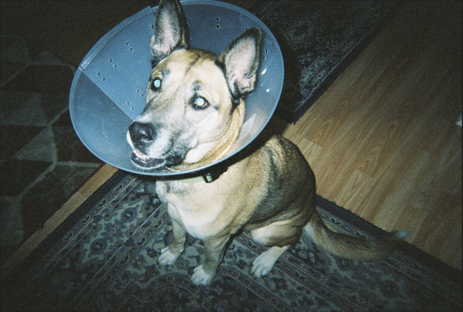 This is my dog Hunny, she lives with Jess and clearly is being neglected hence the cone. (JK Jess you're doing a great job)