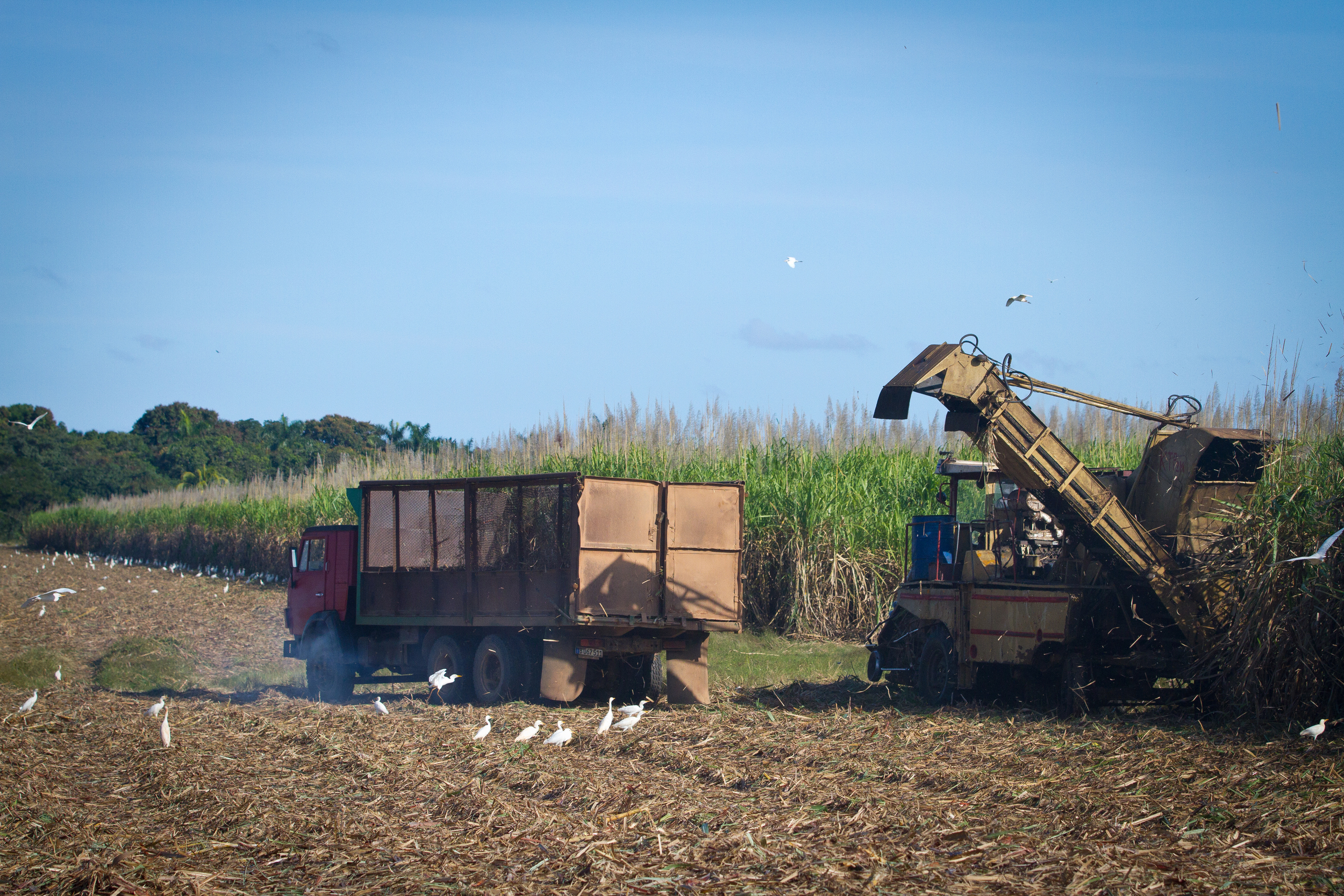 Harvesting sugar cane in the countryside, Cuba
