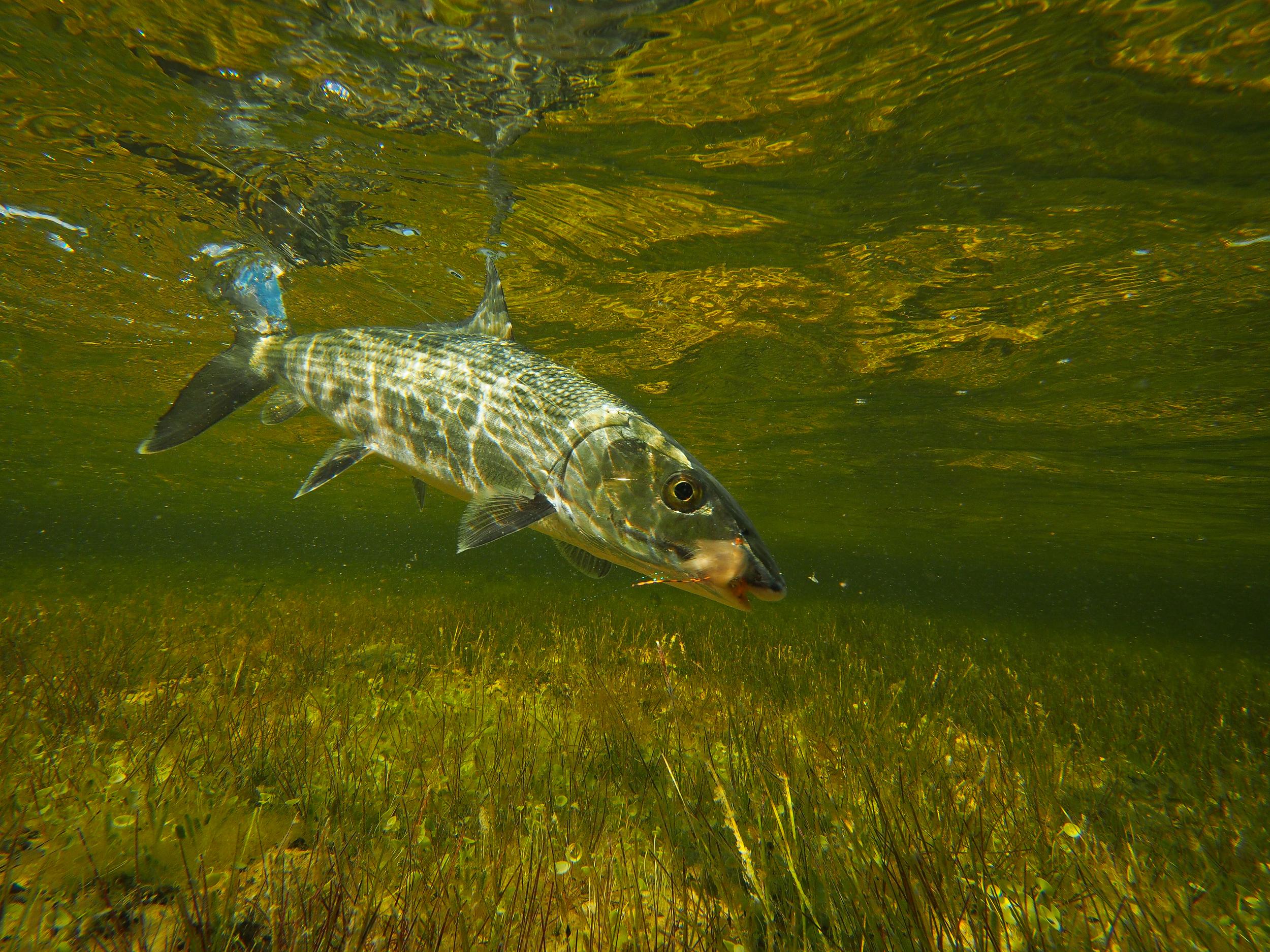 Bonefish over grass flat, Cayo Largo, Cuba