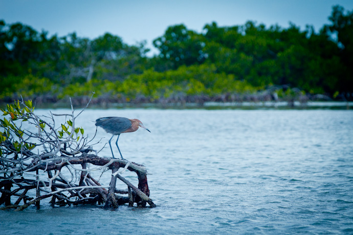 Heron on the prowl, Cayo Cruz, Cuba