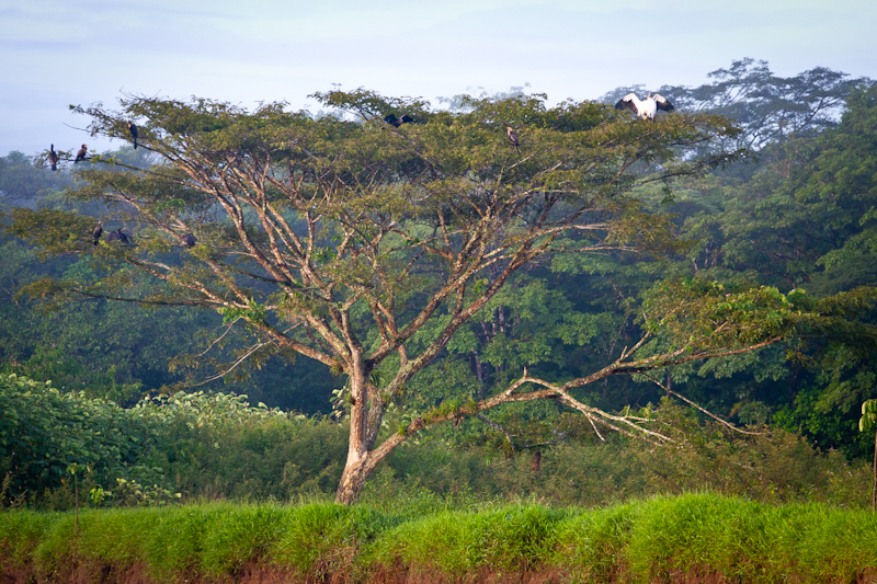 Beautiful Tree, Jungle Tarpon, Costa Rica
