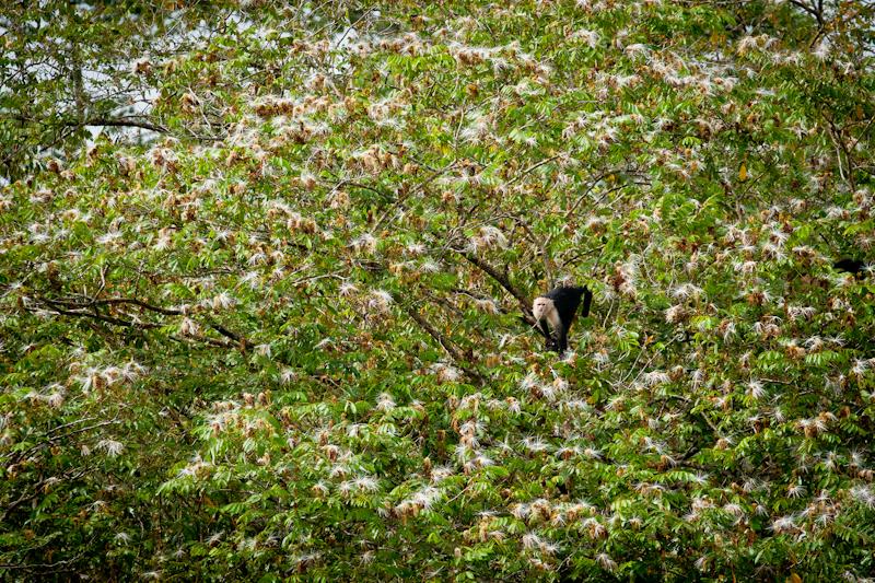 Monkey, Jungle Tarpon, Costa Rica