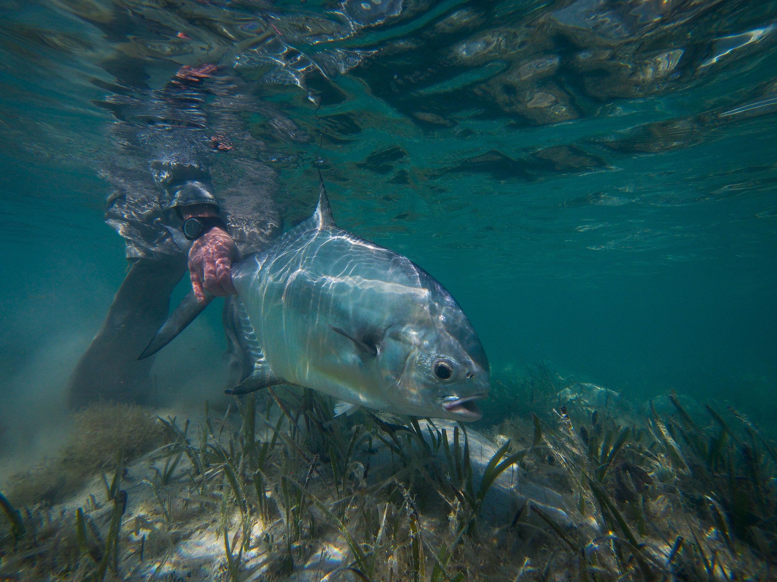 Underwater Permit image, Cayo Largo, Cuba