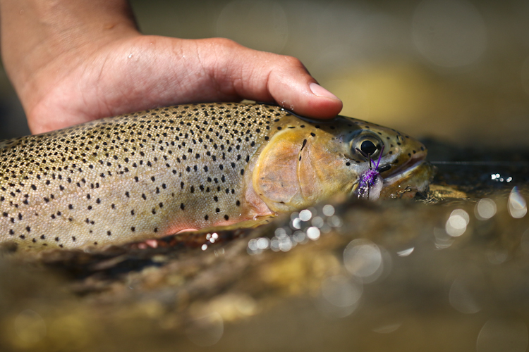 Macro of Cutthroat and big dry fly