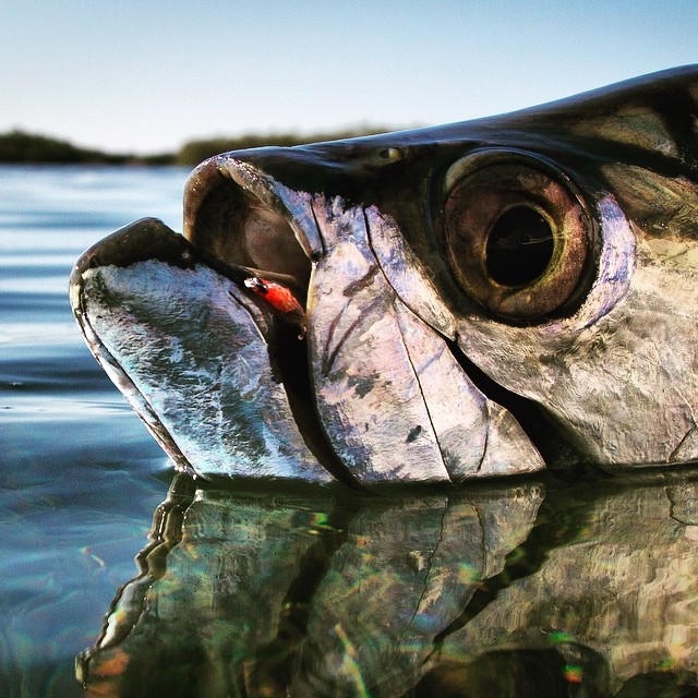 Gardens of the Queen Tarpon are pretty willing fish #gardensofthequeen#jardinesdelareina#cubafishingoutfitters#joncovich#flywaterttavel#fishingcuba#tarpononthefly#sabalo
