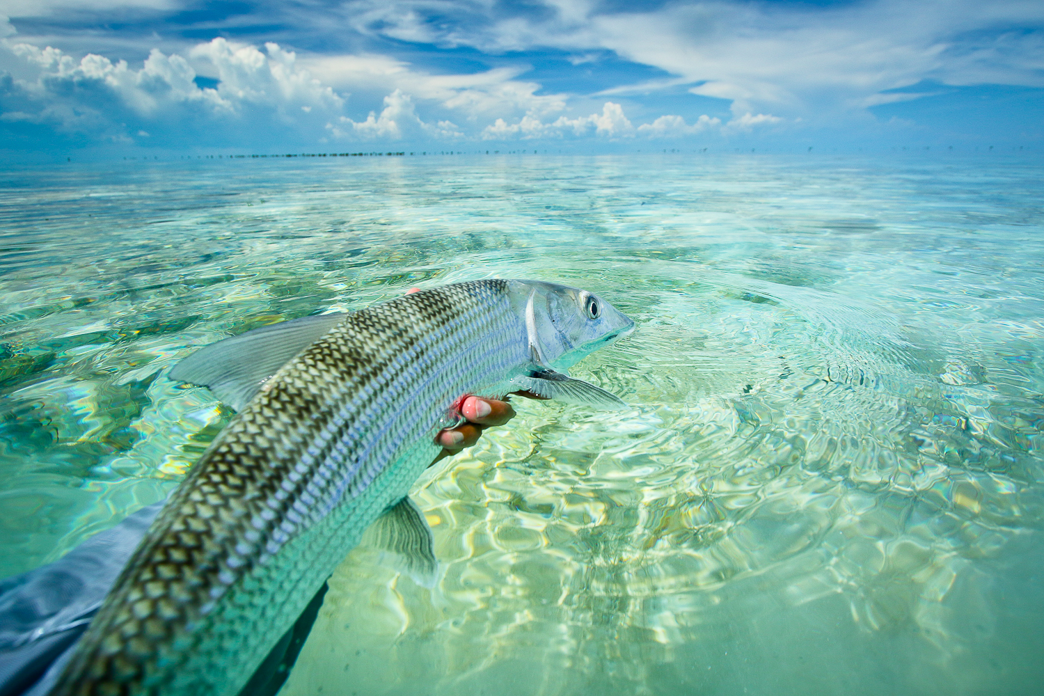 Meaty Bonefish are plentiful