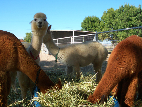 La Union, NM - La Buena Vida Alpacas
