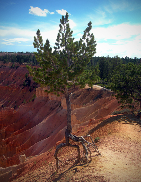 Exposed roots / Bryce Canyon