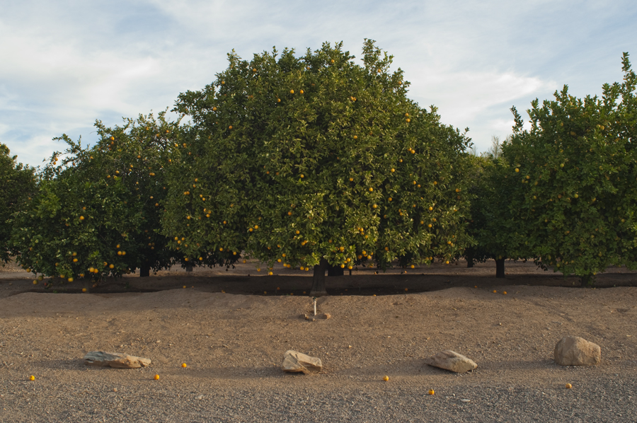 Orange Grove / Taliesin West