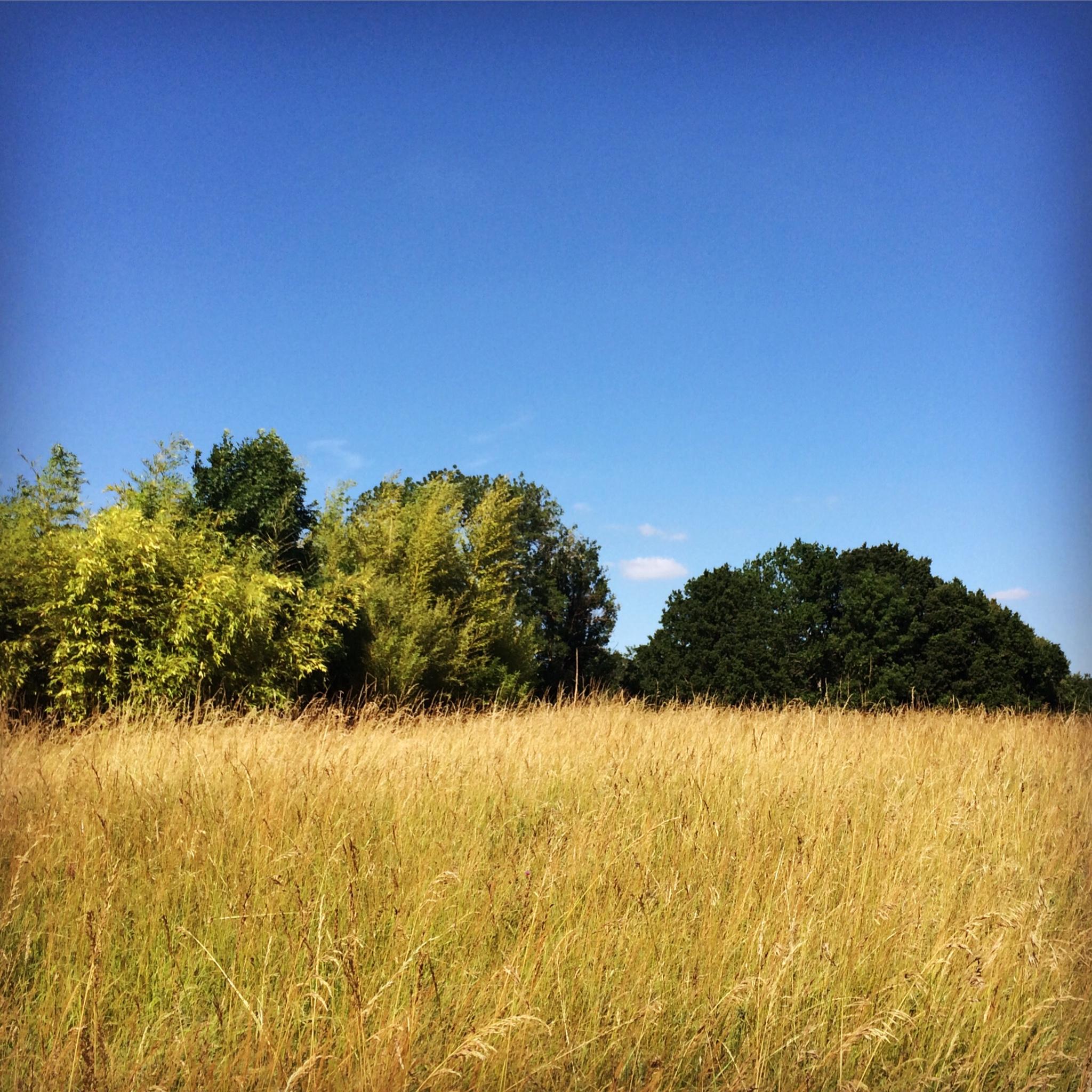 Tall grasses / Fleurac, France