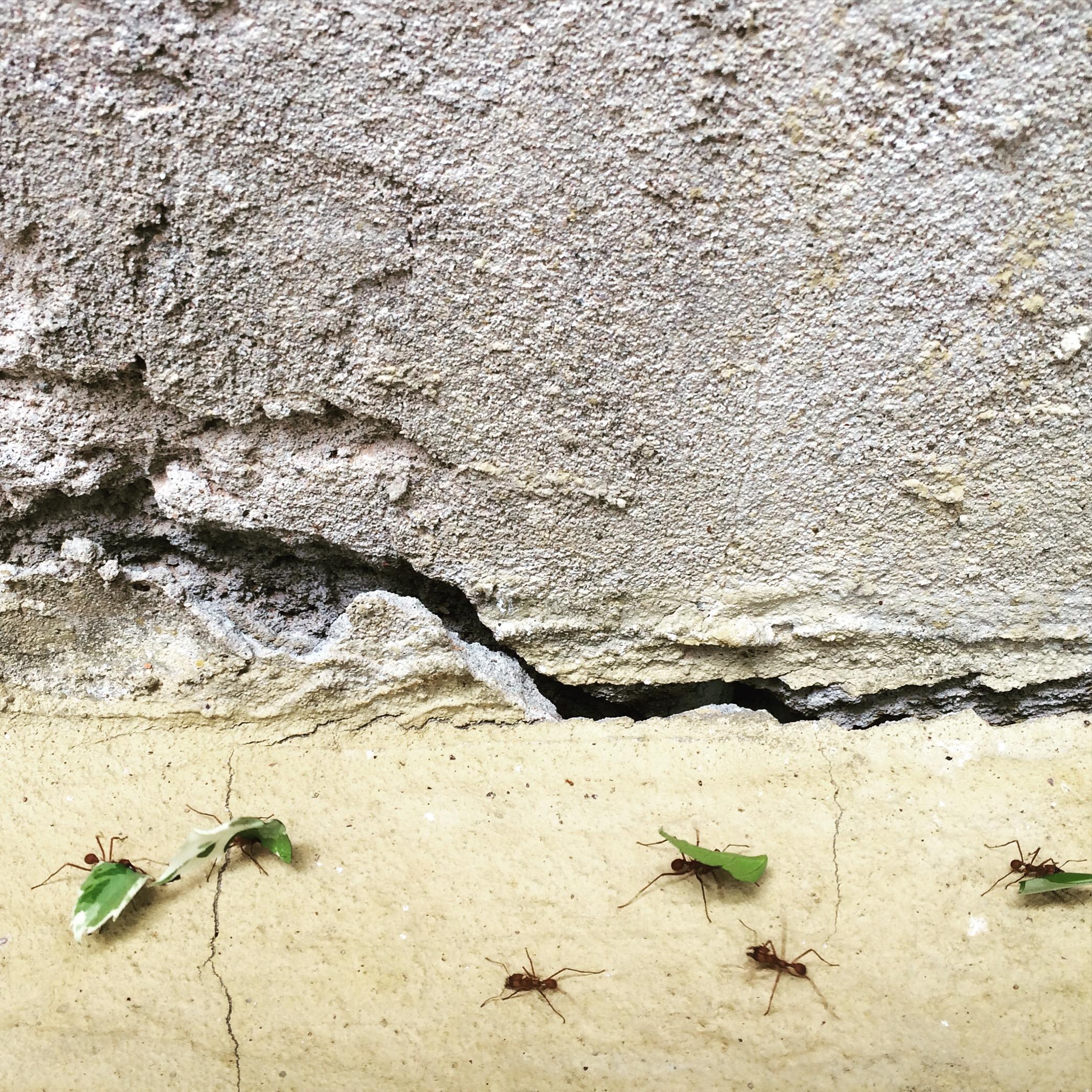 leaf cutter ants v. hibiscus tree