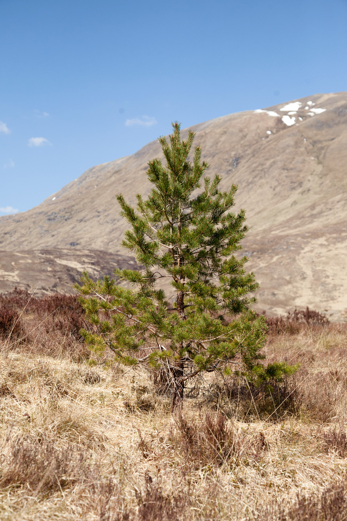 Trees-for-Life--Scotts-Pine-Image-by-Jody-Daunton.jpg