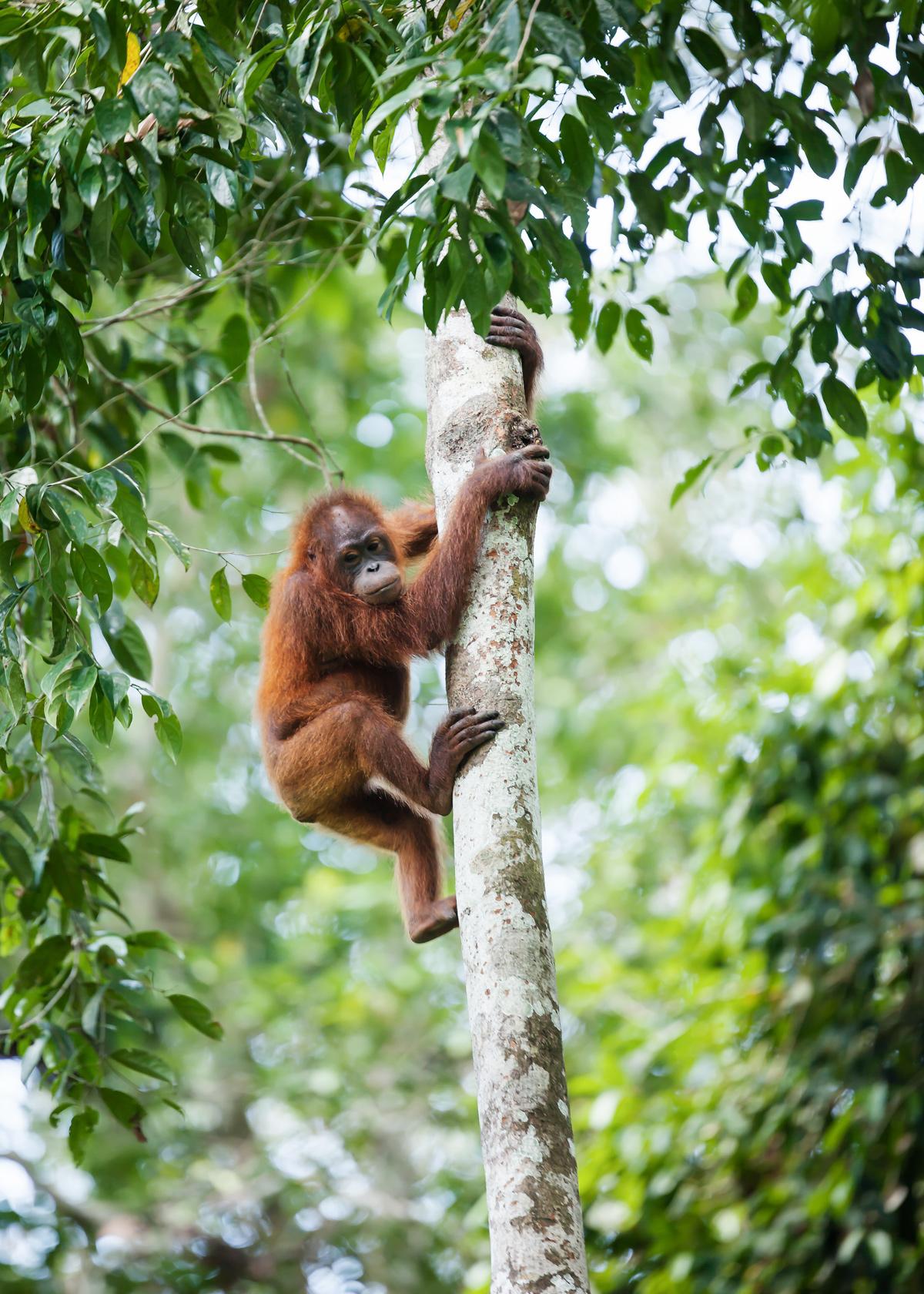 Orangutan-Edit.jpg