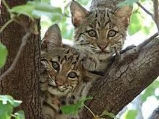 Bobcat-lynnhavenvillage.org.jpg