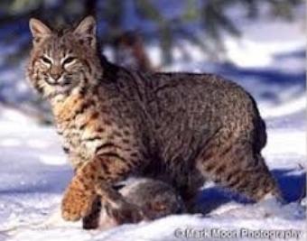 Bobcat-burkemuseum.org.jpg