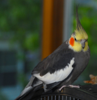 Albert, Cockatiel (5 years old).    Lost his friend and would not bond to another bird. Foster Parents used positive reinforcement to bring Albert out of his shell.