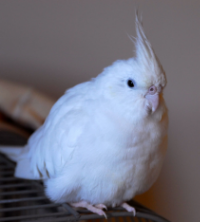 Lily, Cockatiel (7 years old)    Lily lived in a very small cage with no interaction with humans or birds. She was very reactive to everything around her. Foster Parents worked on s  ystematic desensitization to toys, people and environment  .