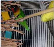 Binki, Lovebird(9 years old).    Binki was terrified of everything.    He only came down at night to eat or drink.    Foster Parents used positive reinforcement to give Binki confidence.