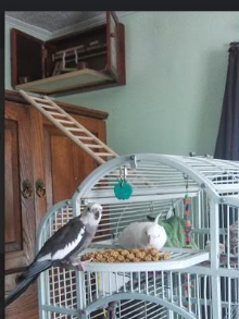 Once Lily started becoming curious vs nervous with the environment, Lily was available for adoption.   An adopter was looking for a friend for her cockatiel Dusty.     Photo shows Dusty and Lily sharing millet (check out the birdie room – Lily is free flight bird)
