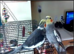 After a short foster time, a great adopter   applied to adopt Albert. Her cockatiel, Pearl, had lost her friend and was so lonely.    Photo shows Albert and Pearl first meeting: Instant BFF (Bird Feathered Friends)
