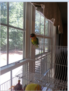 Binki is the only bird in his forever home.    He loves every minute of it!