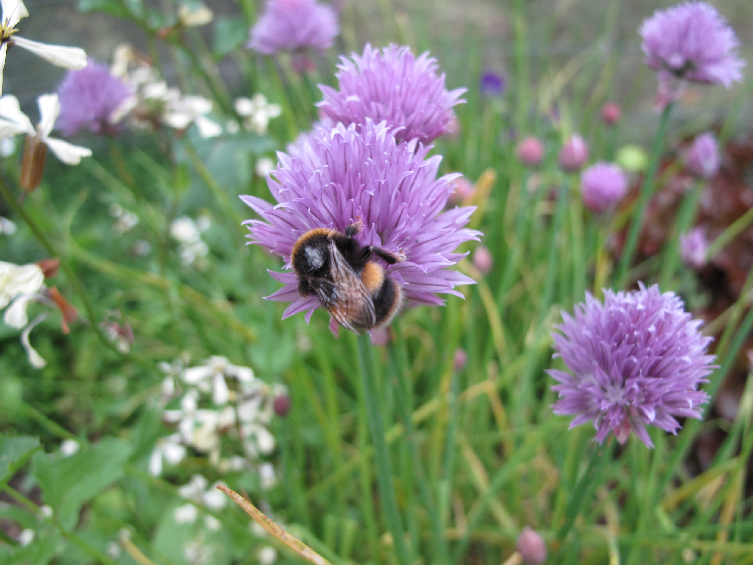 bumblebee in chive flowers