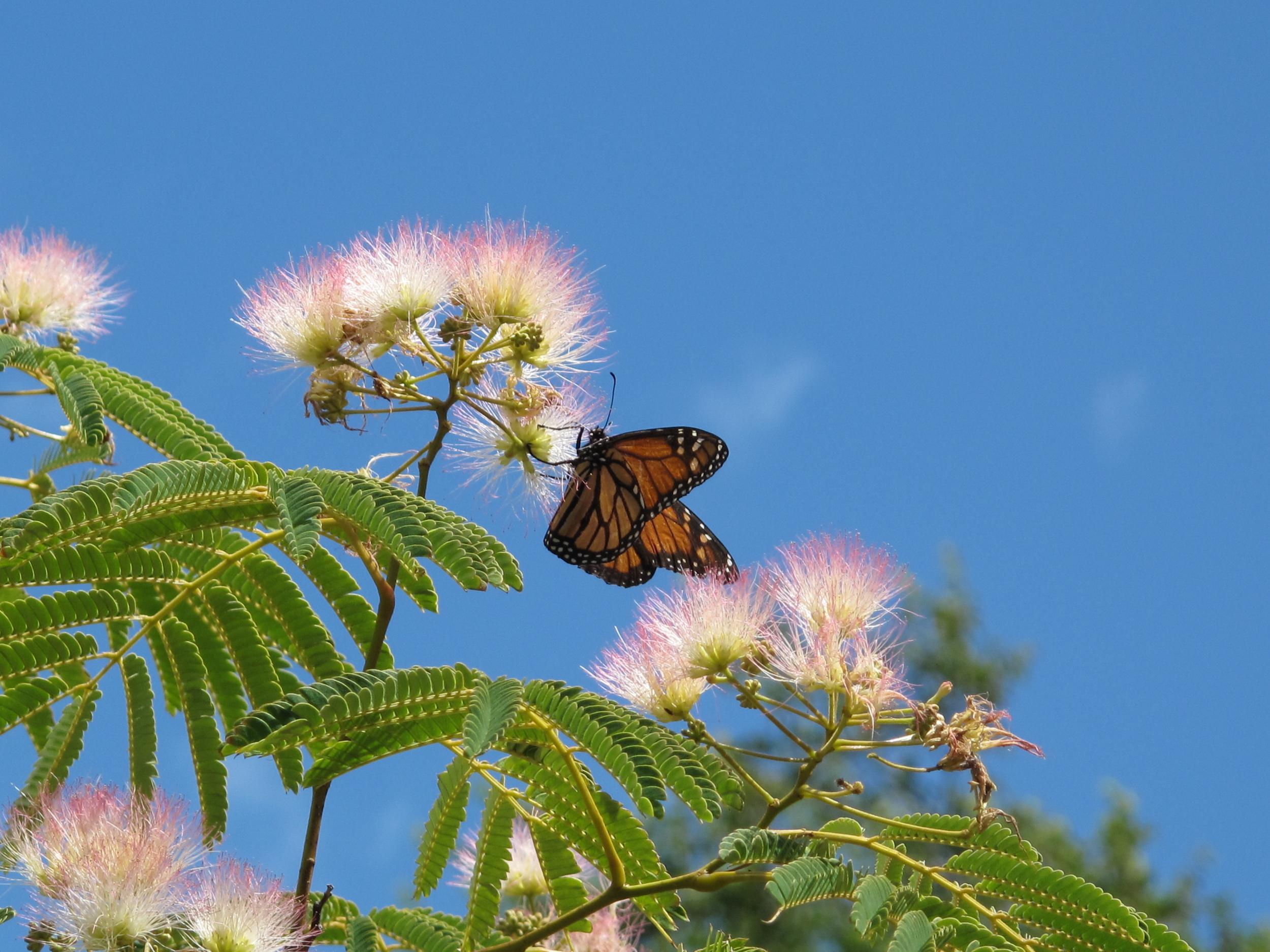 Monarch butterfly on NZ pohutukawa