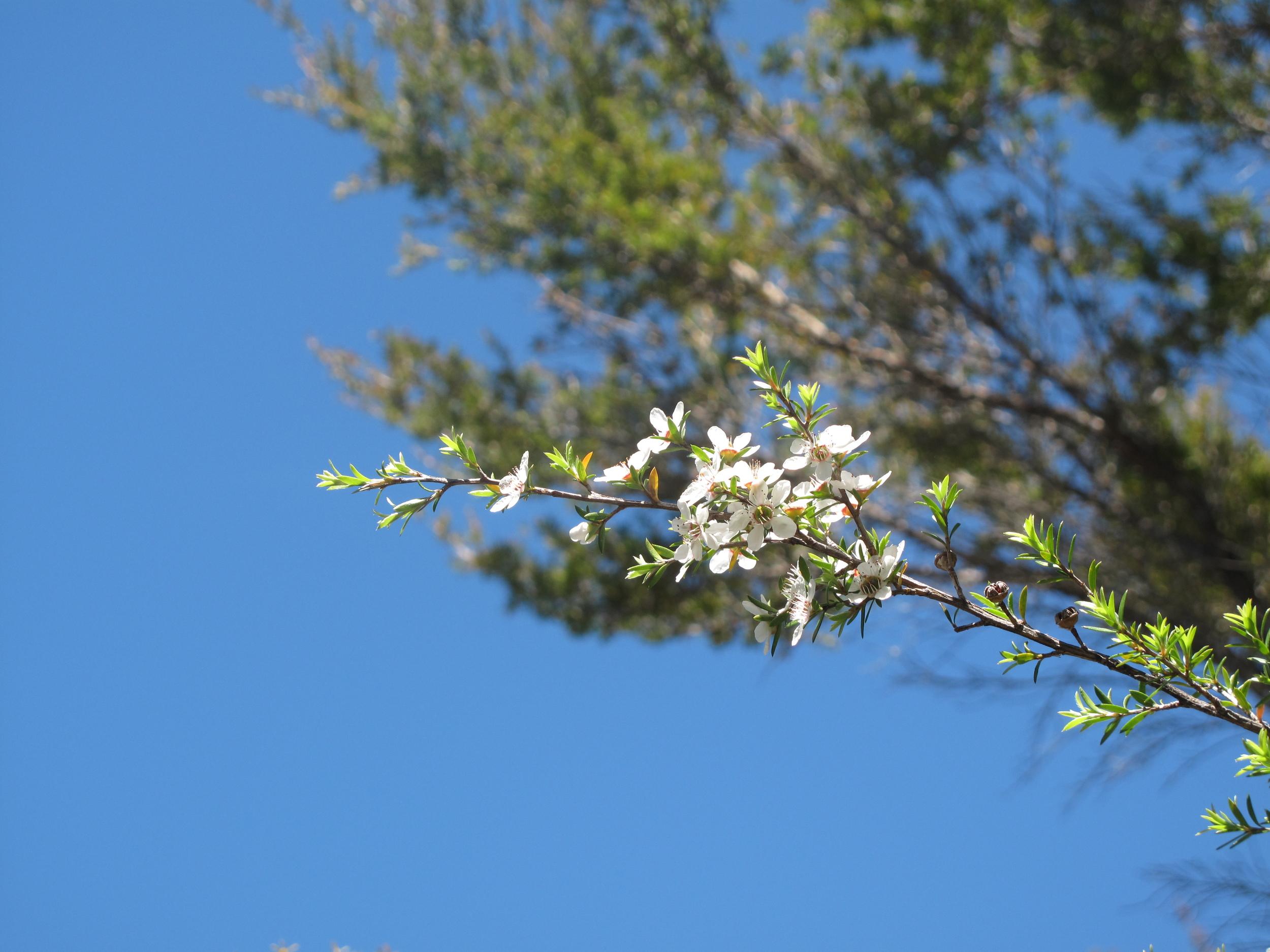 white flowers Able Tasman