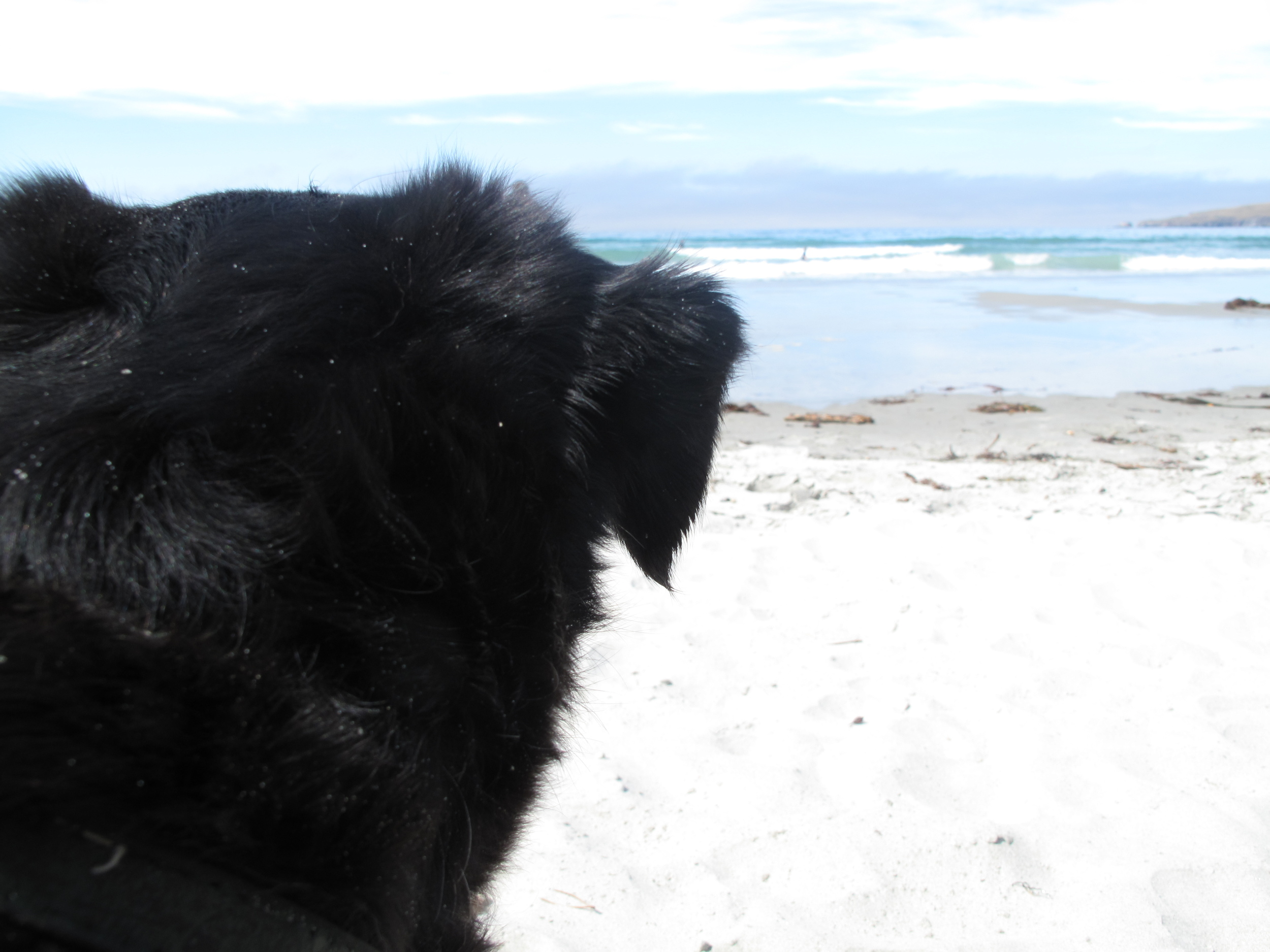 Dog at the beach watching the waves