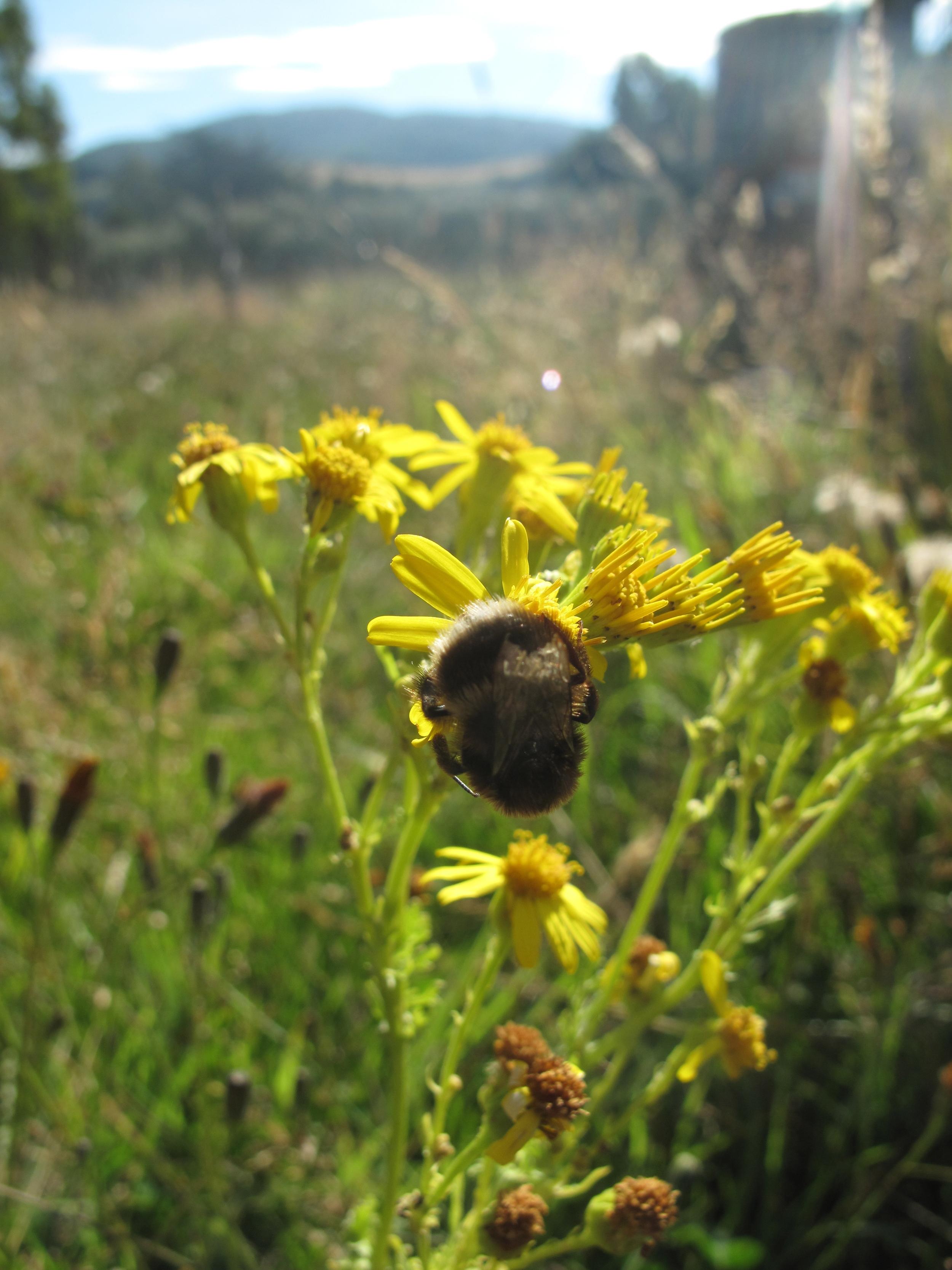 bumblebee in dandelions