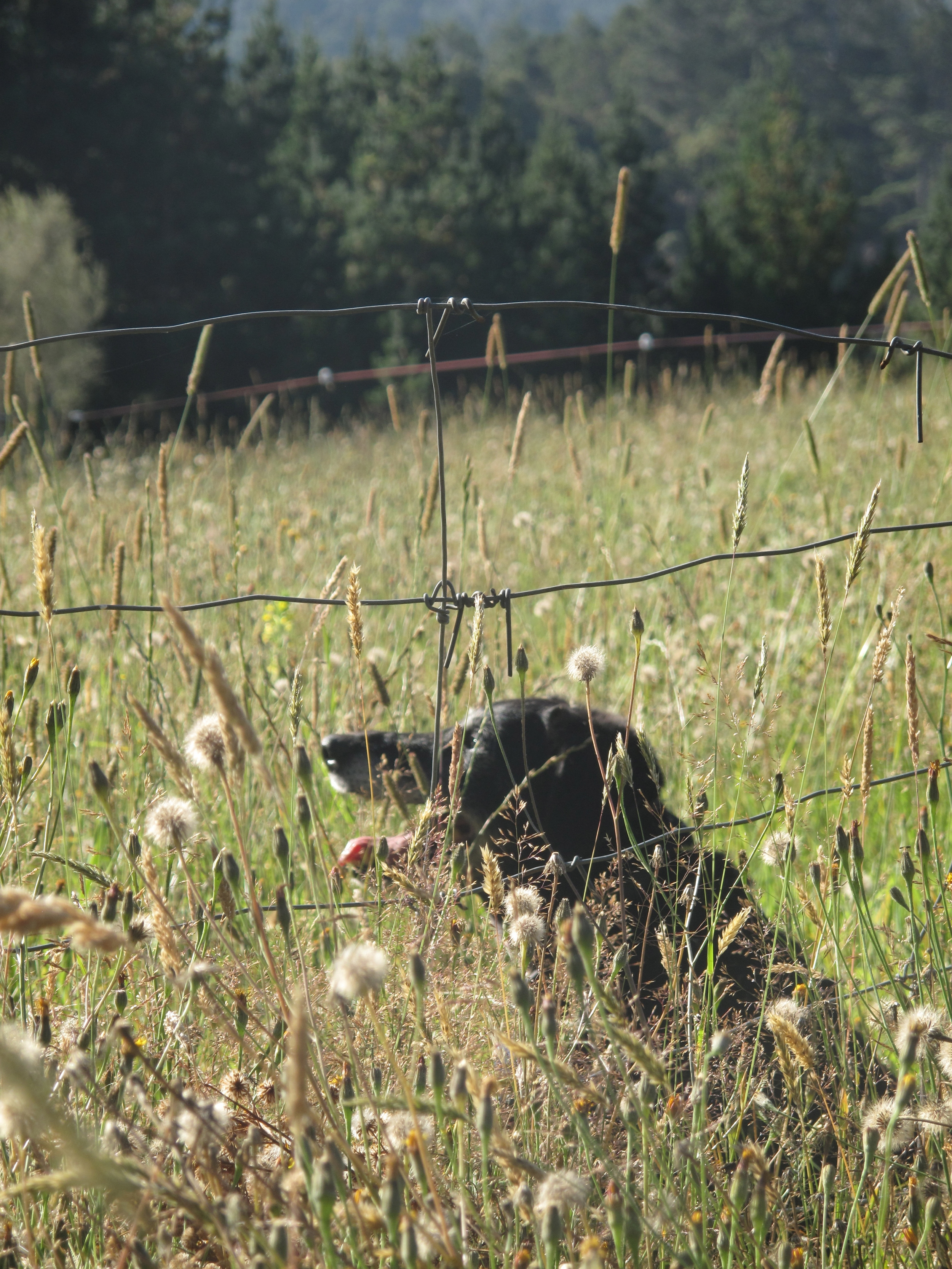 Dog in the long grasses and wheat of summer