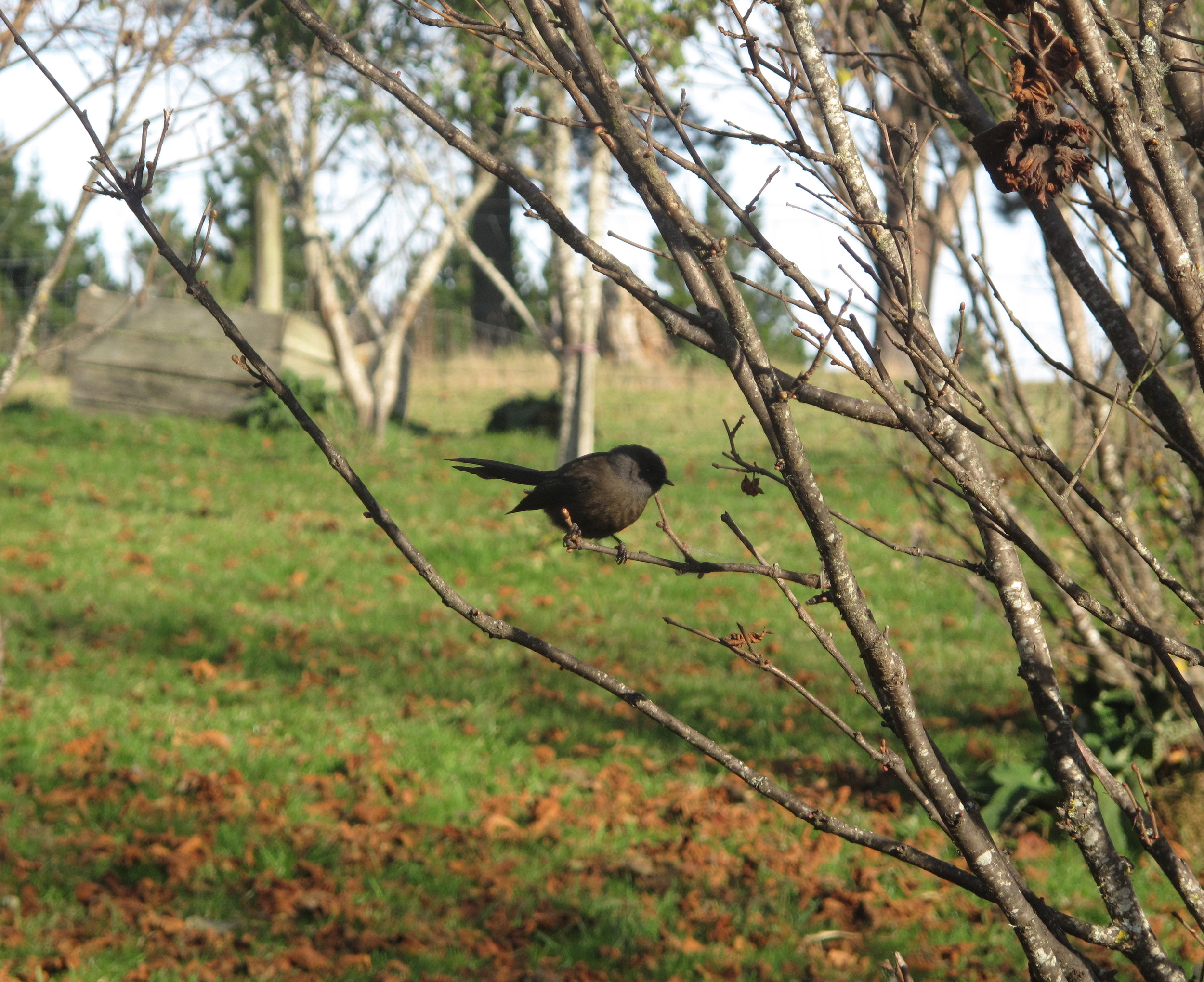 Fantail in a hazelnut orchard in autumn