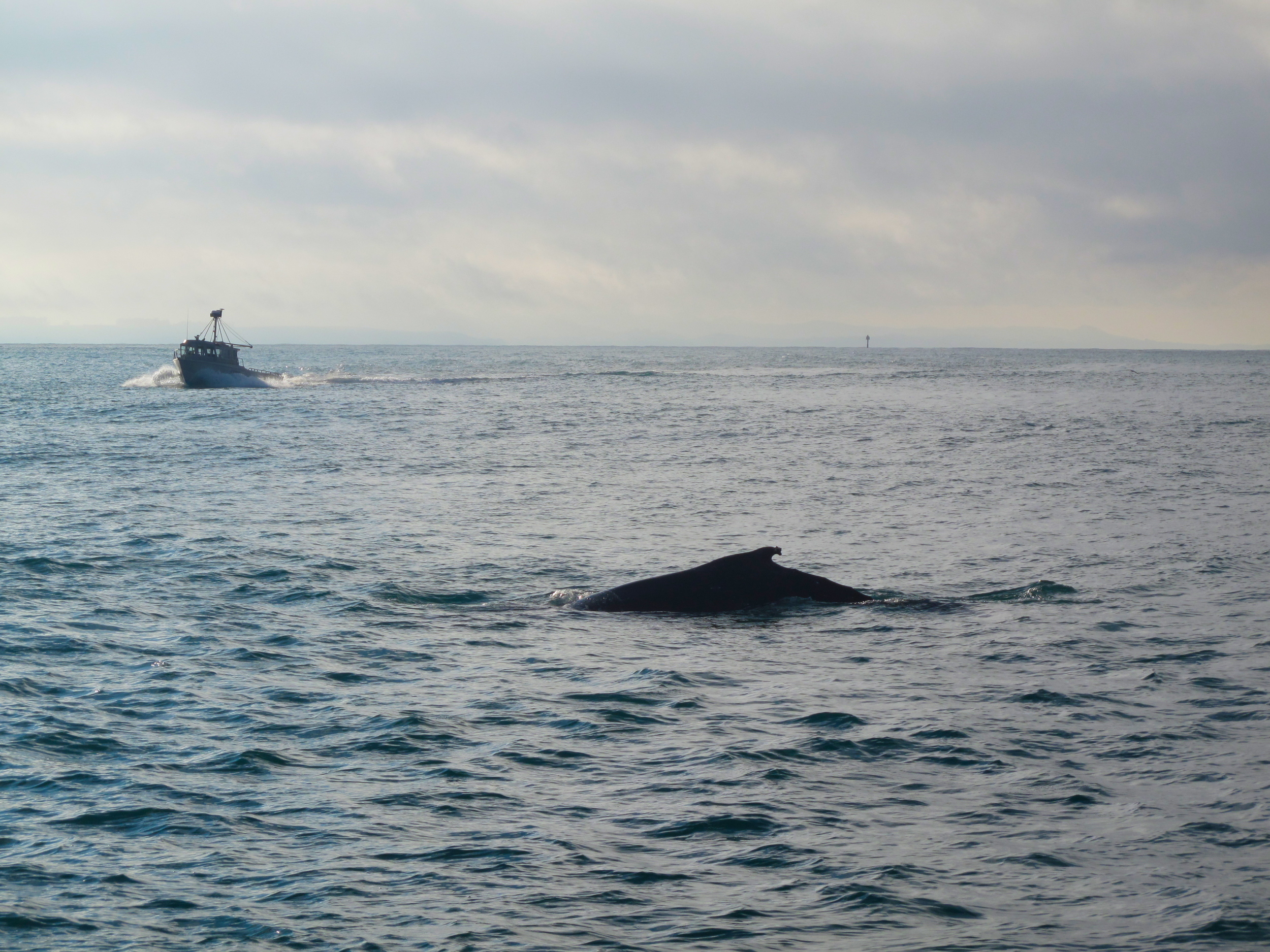 Humpback whale silhouette and boat in Dunedin harbour