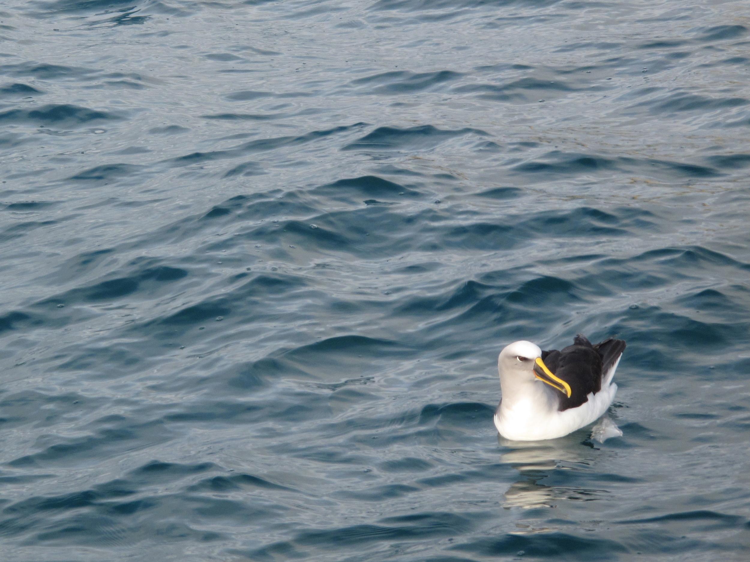 NZ Royal albatross in Dunedin Harbour