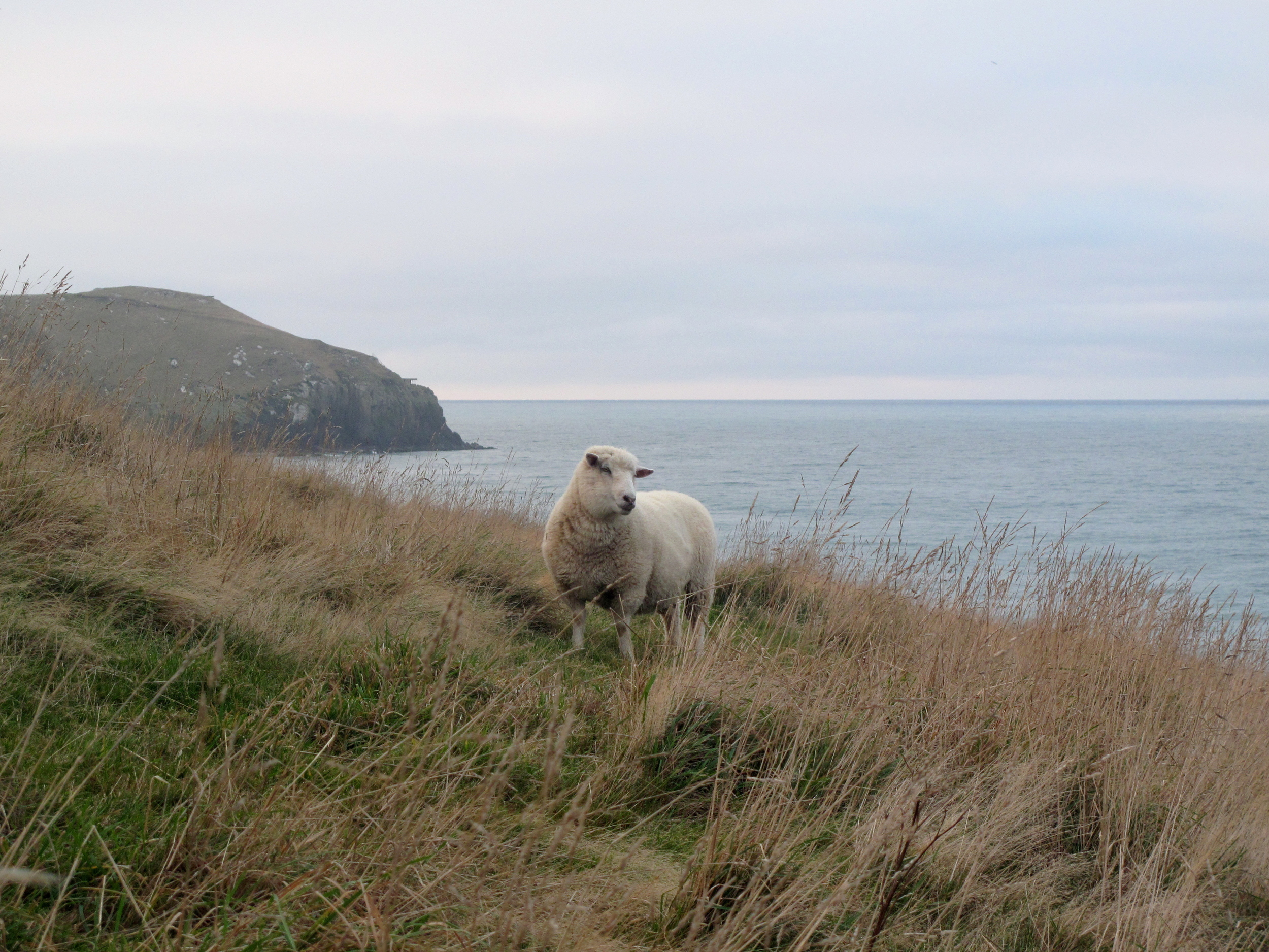 New Zealand sheep in the hills and on sea cliffs