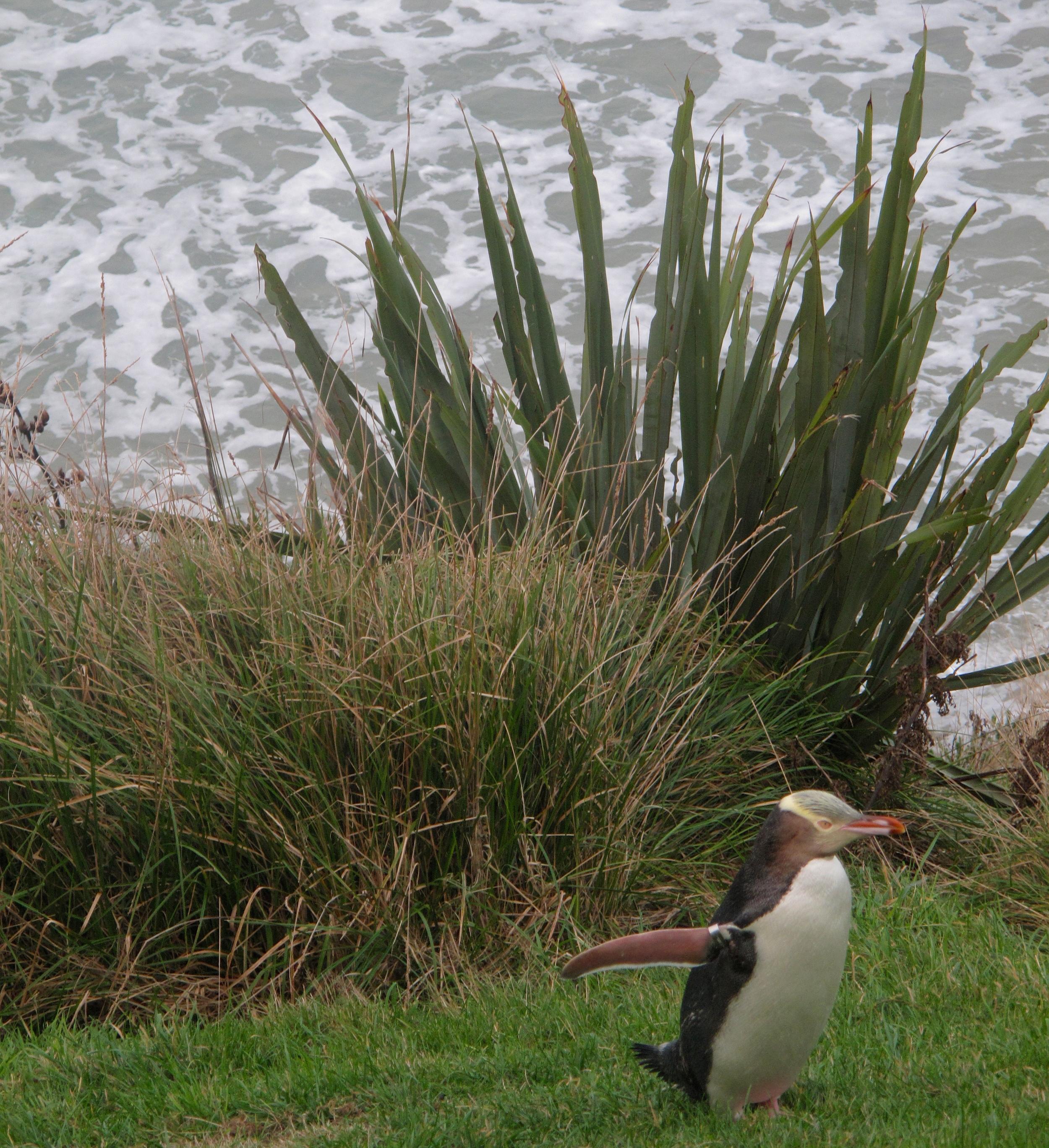 NZ yellow eyed penguin on Otago Peninsula