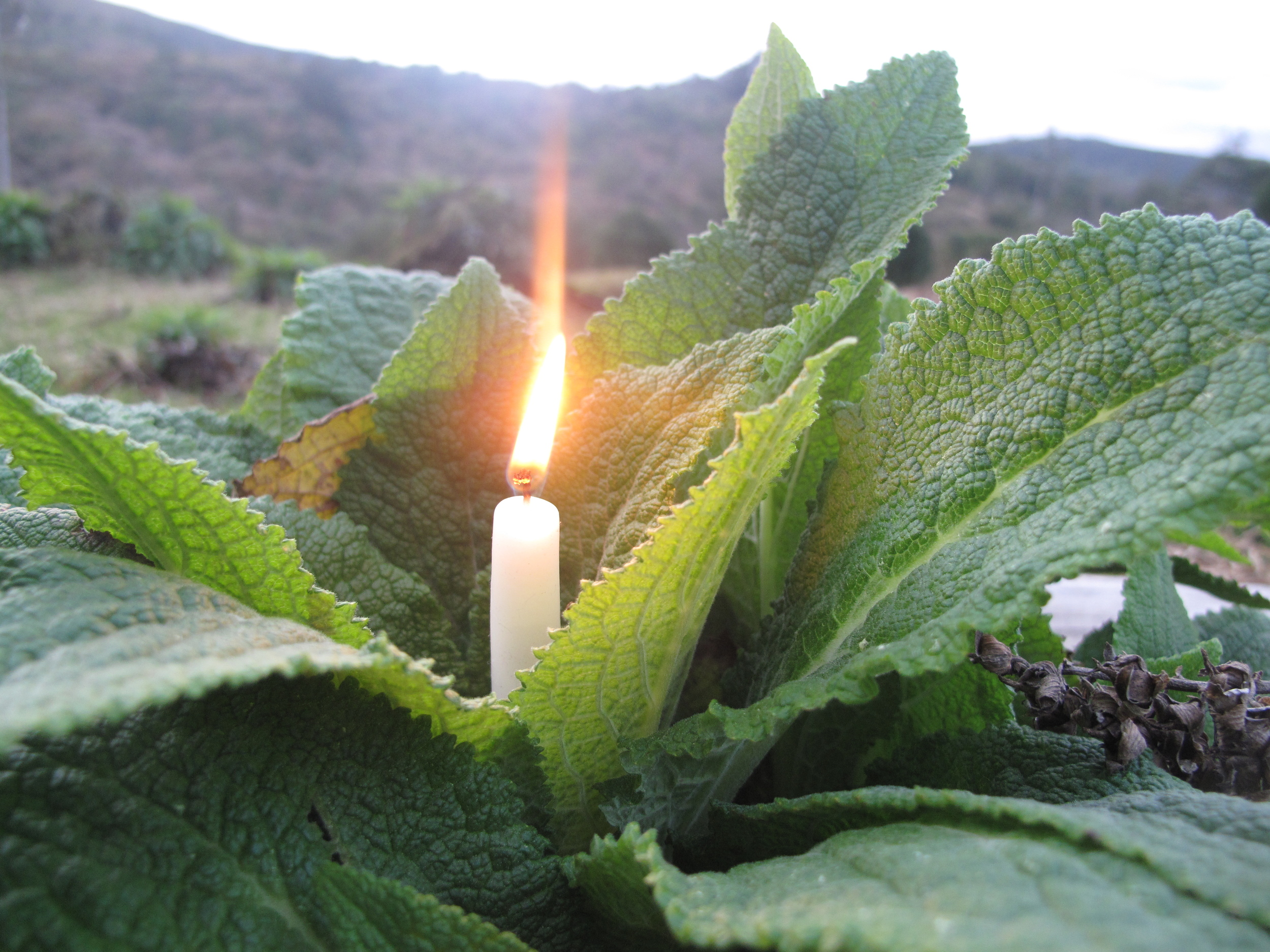 Candle stuck in dock leaves - natural candle holder