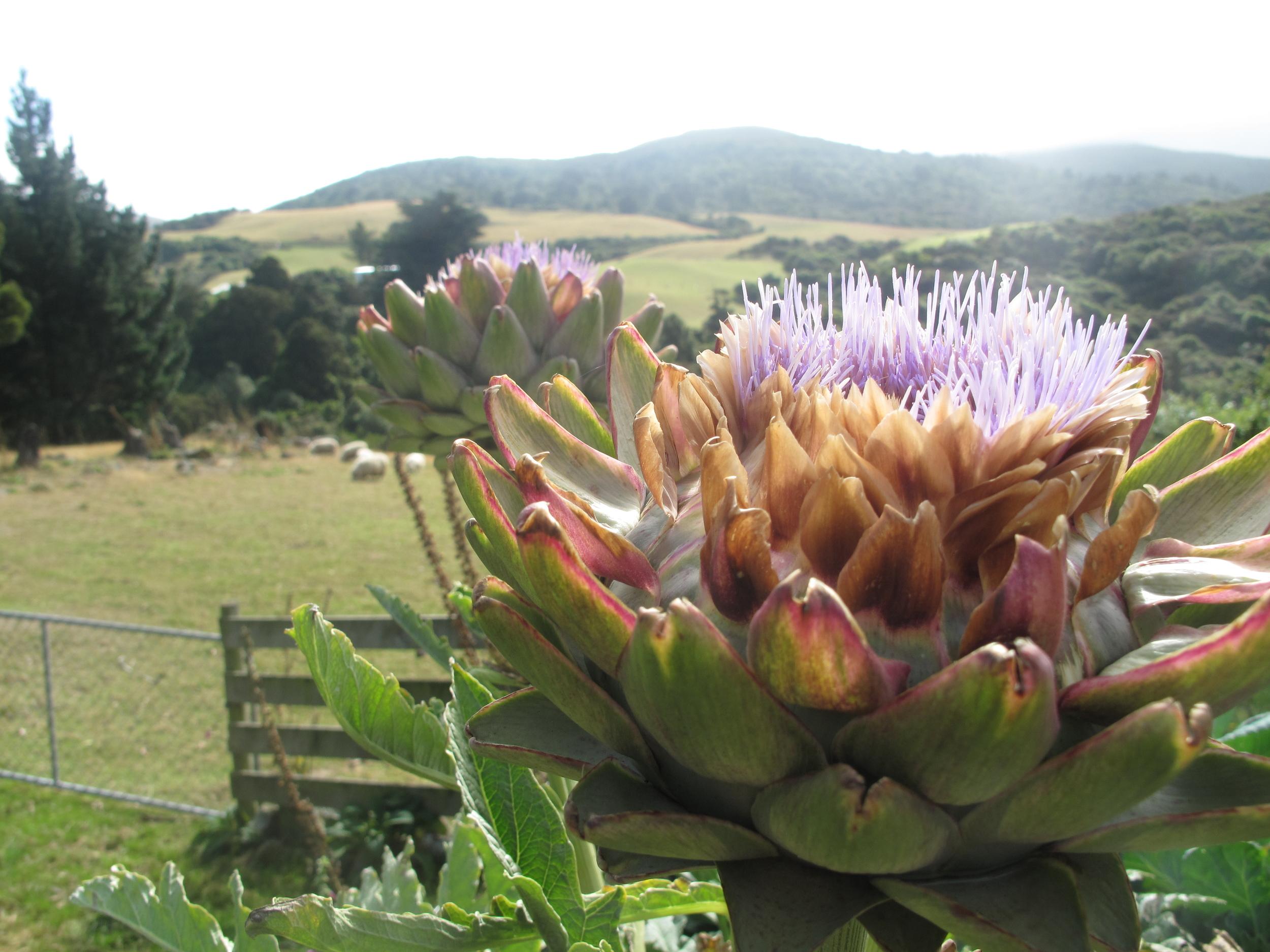 Artichoke flowers in a veggie garden in the hills of NZ