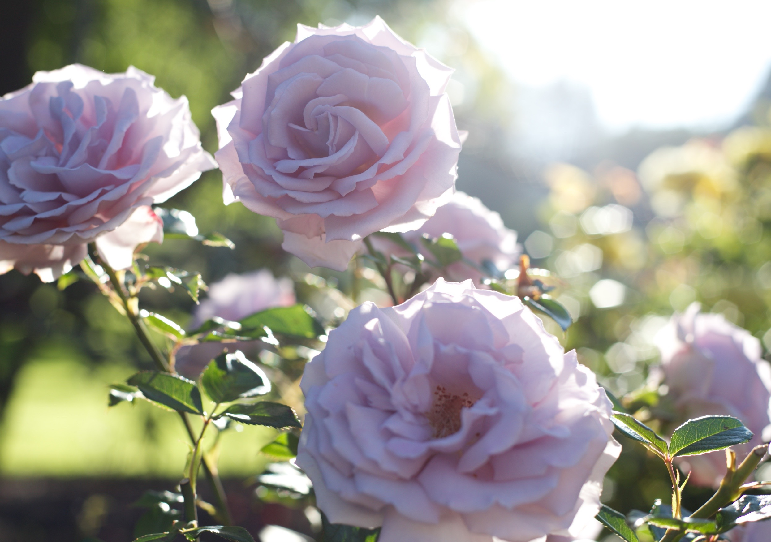 dusky purple roses in the morning light