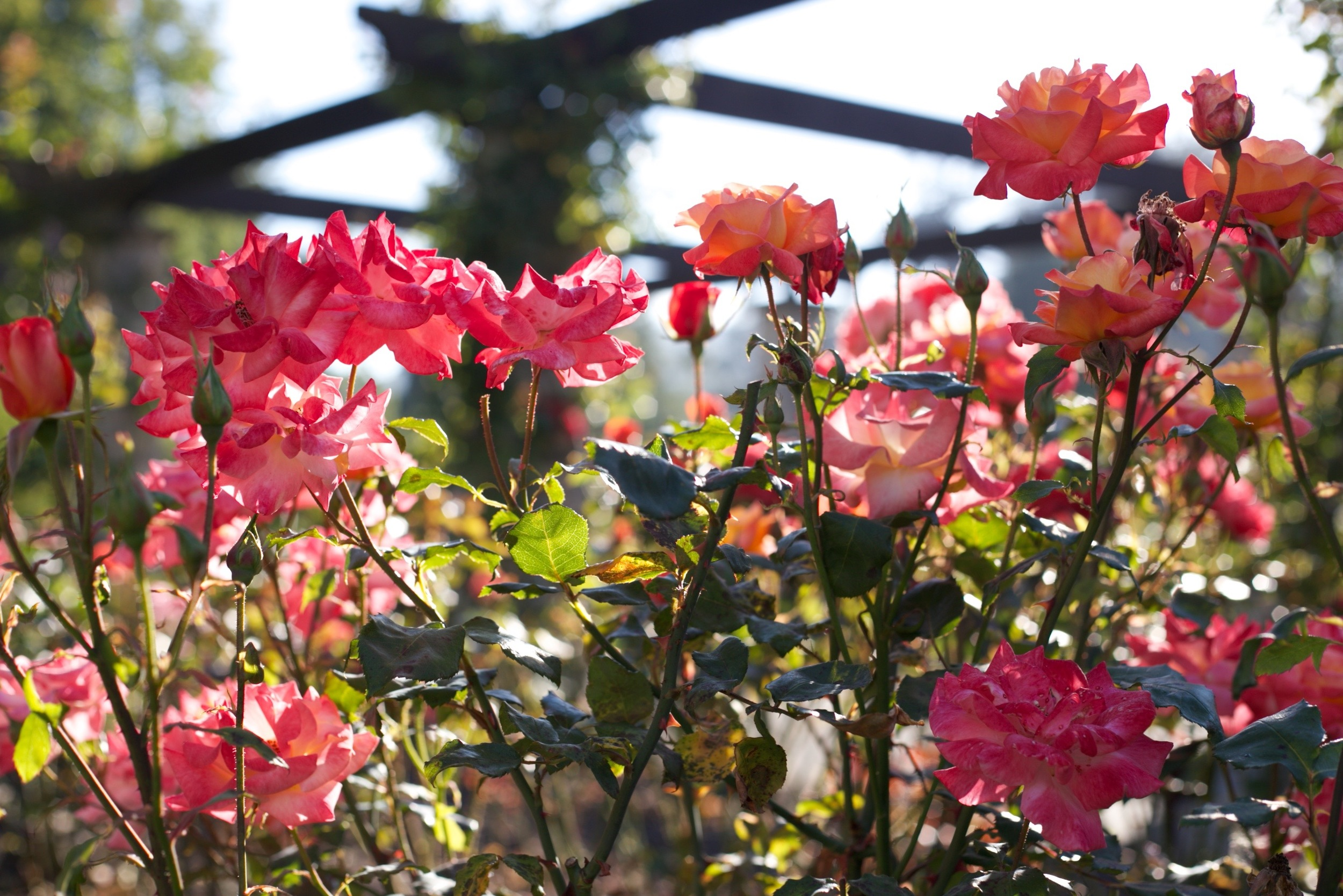 Pink and peach rose garden in the morning light