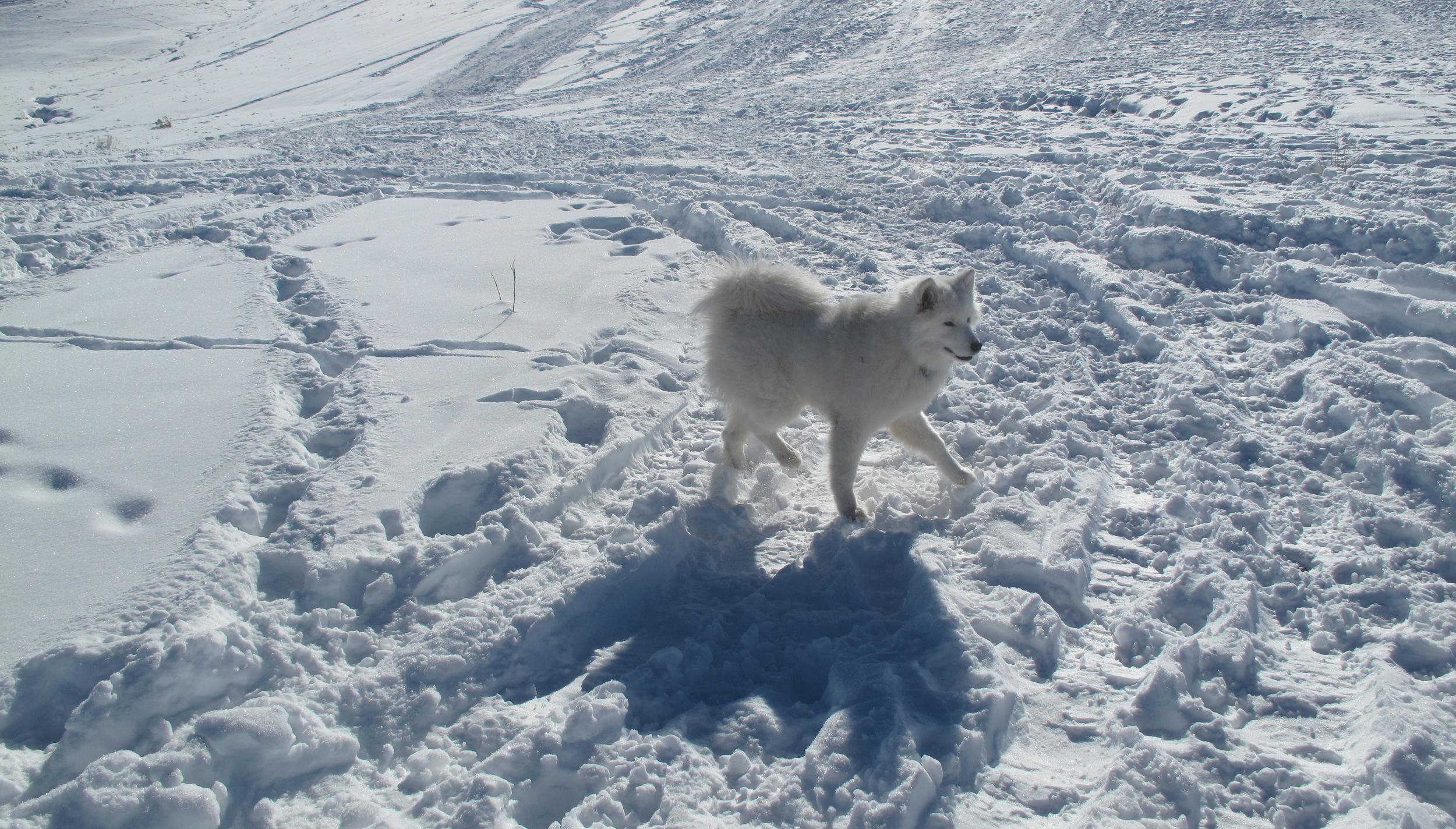 Fluffy white Samoyed dog in the snow