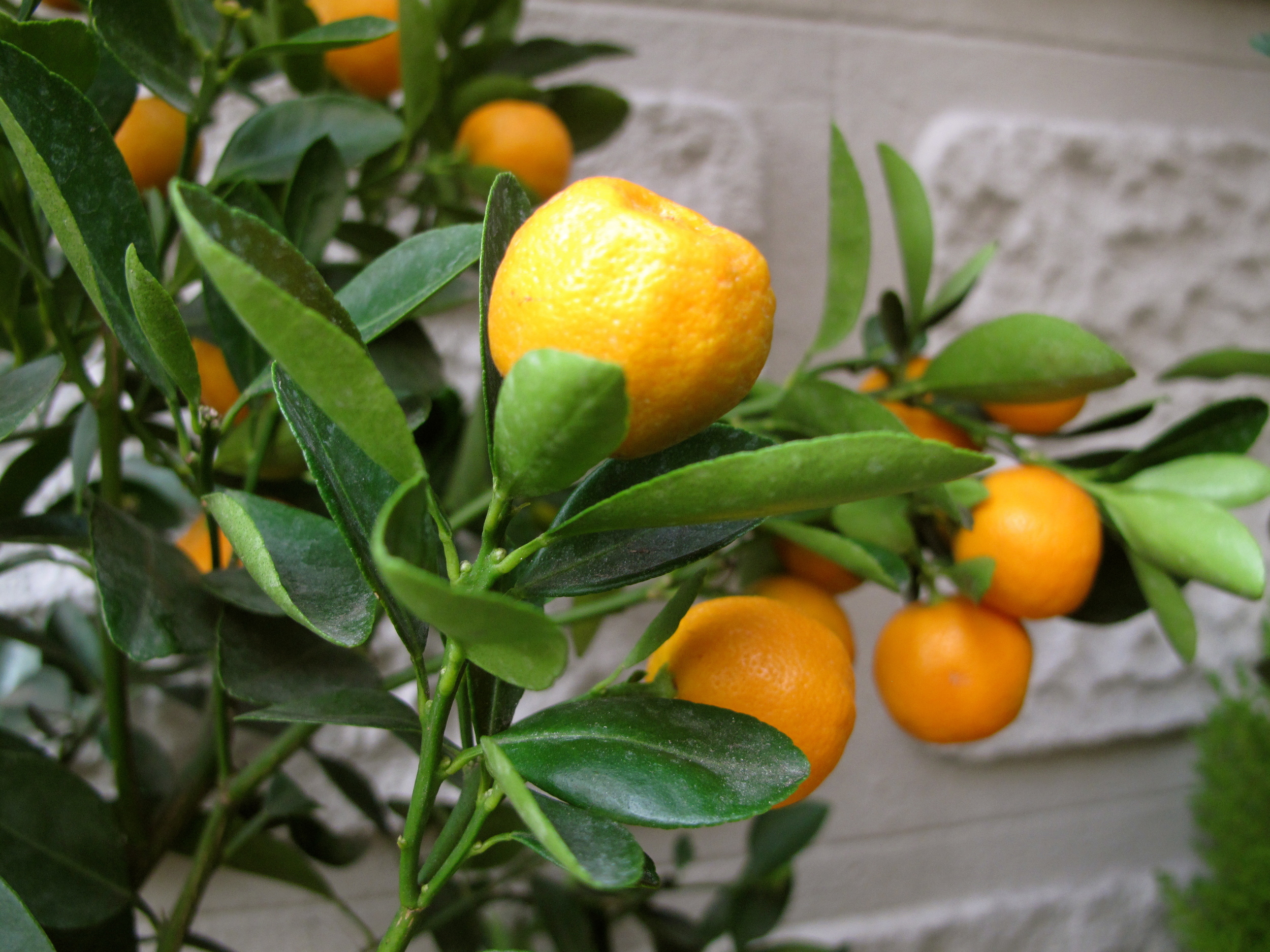 Oranges growing on trees along the street in Barcelona