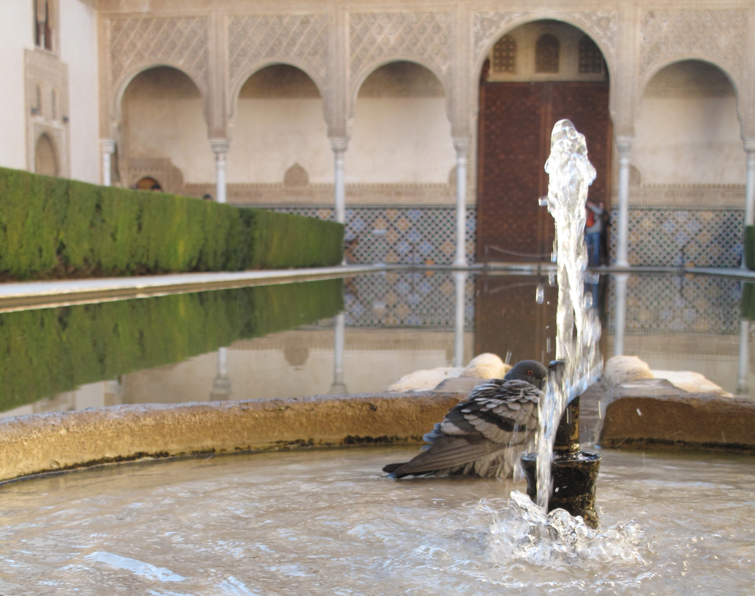 Pigeon bathing in a fountain in the reflecting pool at Alhambra