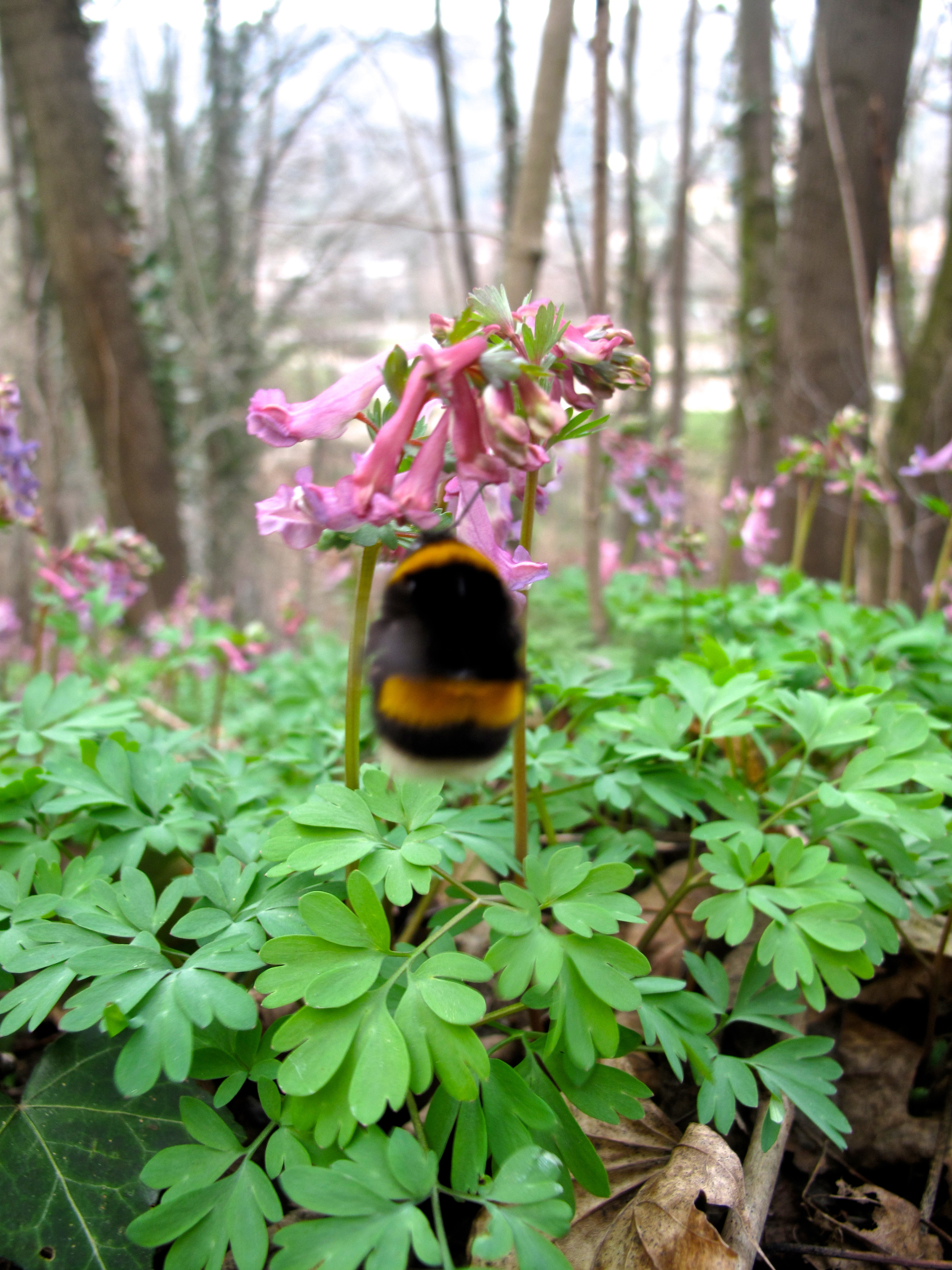 Bumblebee and purple flowers in a French forest