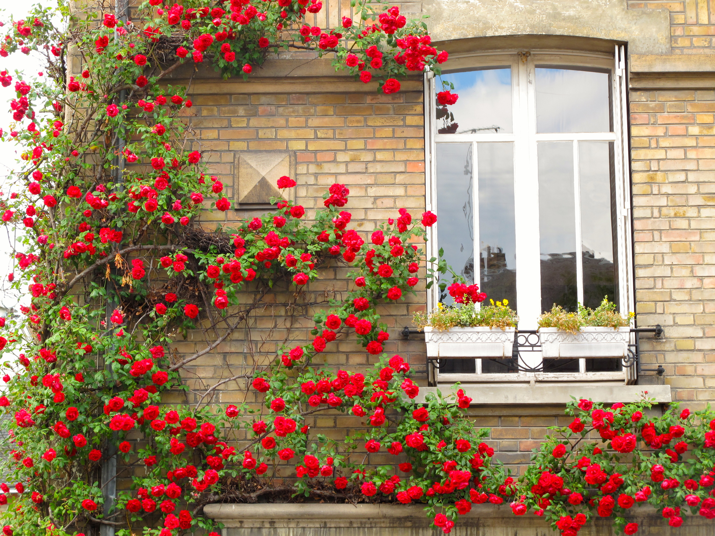 Roses in Reims on a stone-walled house